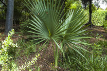 Washingtonia Robusta, Palm Tre...