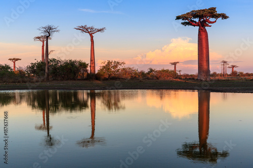Spoed Foto op Canvas Baobab Beautiful Baobab trees at sunset at the avenue of the baobabs in Madagascar