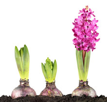 Pink Hyacinth Flower And Sprou...