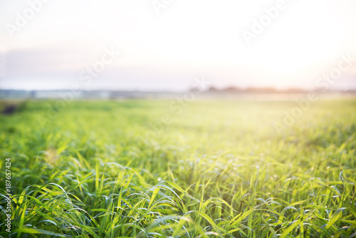Photo sur Aluminium Pistache Sunset on the green field planted agriculture