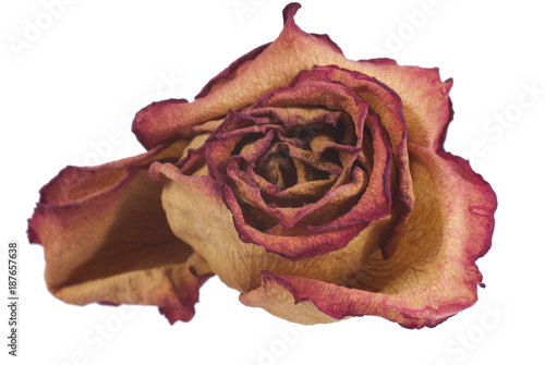 Fotografie, Obraz Rose withered dry petals