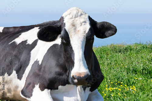 Wall Murals Cow A white and black cow lying in the meadow