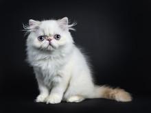 Persian Cat / Kitten Sitting S...