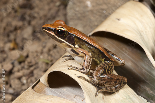 Printed kitchen splashbacks Frog Bronzefrosch (Indosylvirana temporalis) - bronzed frog / Sri Lanka