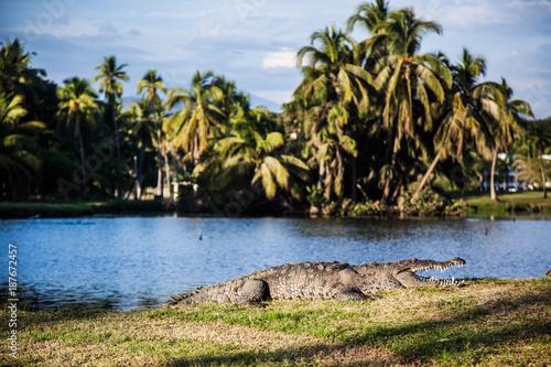 Krokodil liegt vor einer Lagune in der Wiese
