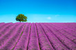 canvas print picture - Lavender and lonely tree uphill. Provence, France