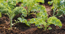 Planting Kale In The Farm