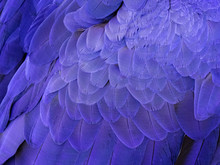 Macro On A Hyacinth Macaw Feat...