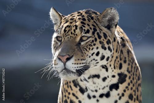 Photo Stands Panther Jaguar