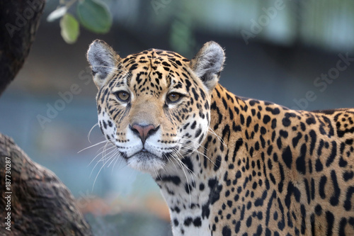 Jaguar close up
