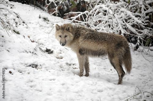 фотография  Hudson Bay Wolf