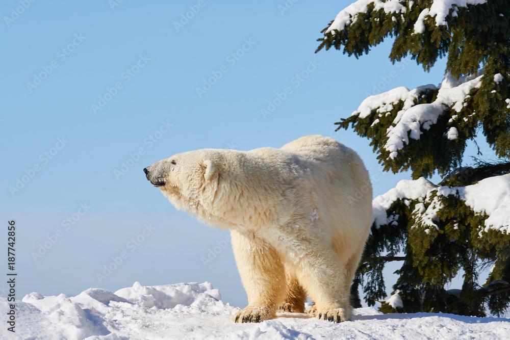 雪の上のシロクマ