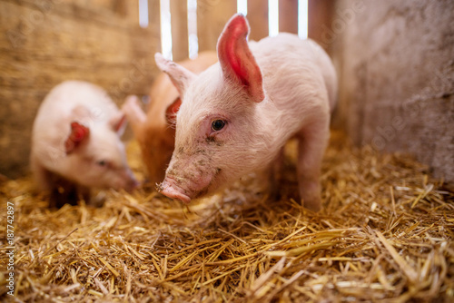 Shallow depth of field pig portrait at pigsty. Pig farm. Group of pigs at animal farm.