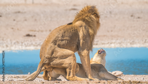 Two male and three female lions take turns at mating