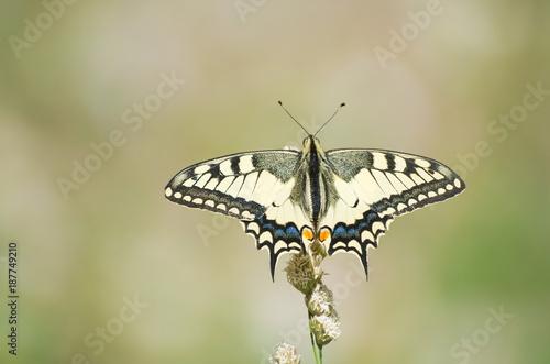 Fototapeta Papilio Machaon Butterfly