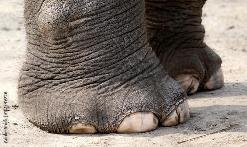 Foto op Aluminium Olifant Pfote eines Elefanten