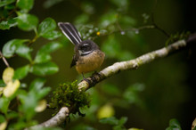 South Island Fantail