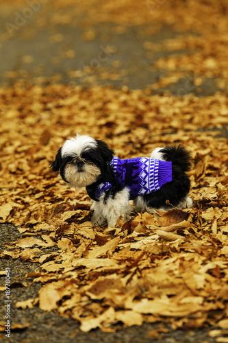 Fotografie, Obraz  Shih Tzu puppy in the fallen leaves.