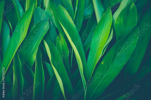 Stampa su Tela  Fresh tropical Green leaves background