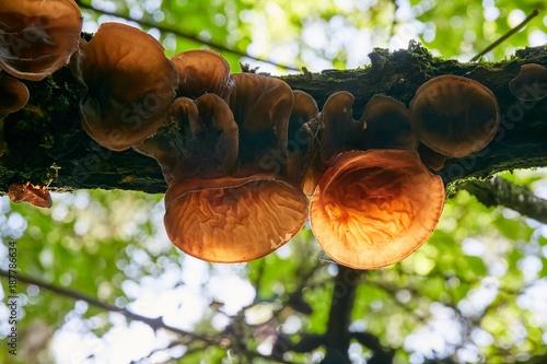 Auricularia auricula judae Canvas Print