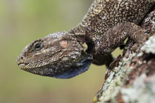 Agama On A Tree In The Angolan Highlands Of Moxico