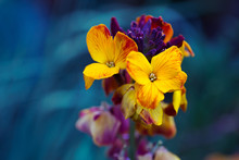 Close-up Yellow Wallflower On ...
