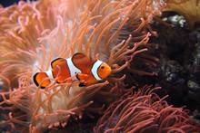 The Ocellaris Clownfish (Amphi...