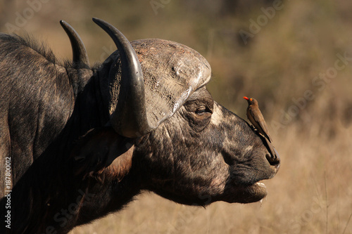 The detail of head of African buffalo or Cape buffalo (Syncerus caffer) with red-billed oxpecker (Buphagus erythrorhynchus) sitting on the head