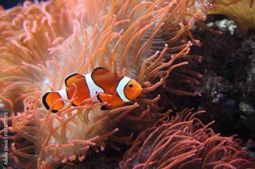 Fotografia, Obraz The ocellaris clownfish (Amphiprion ocellaris) or common clownfish is hiding ros