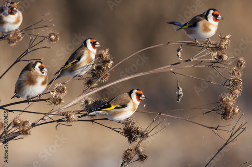 Group of european goldfinches eating burdock in winter Fototapete