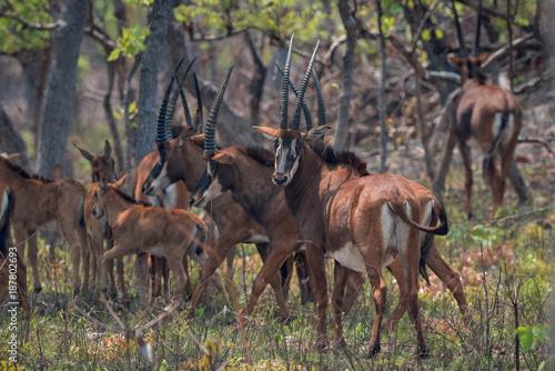 Palanca-negra-gigante no Parque Nacional da Cangandala em Malanje, Angola