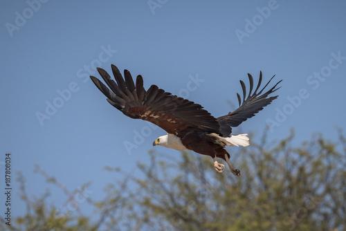 Águia-pesqueira-africana no rio Cubango, província de Cuando-Cubango, Angola