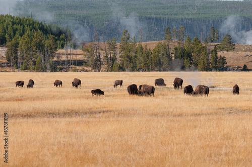 Aluminium Prints Zebra Yellowstone Bison