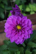 Purple Dahlia Flower At Doi Tu...