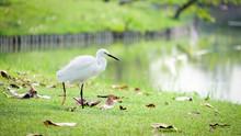 Great Egret Walking By The Marsh