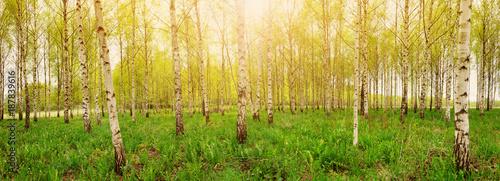 brzoza-drzewo-lasu-w-swietle-poranka-z-promieni-slonecznych