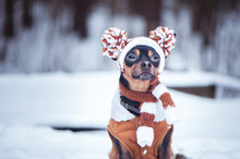 Cute Puppy, Dog, Toy Terrier I...