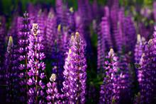Purple Lupins Closeup