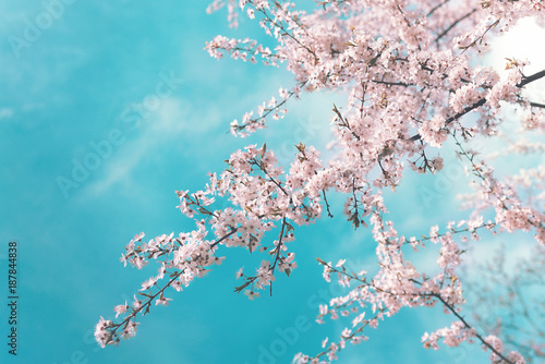 Pink branches of a blossoming cherry in the spring against a blue turquoise sky with clouds. Spring floral background with flowers on sakura branches.