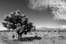 Joshua Tree Monochrom