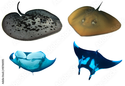 Stingrays and Manta Rays isolated. Marbled, Jenkin's and Manta Rays on white background
