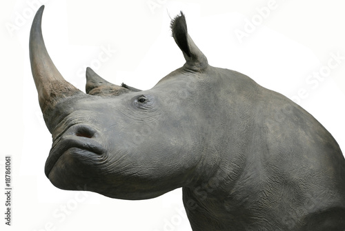 Fototapeta premium rhinos head taxidermy object isolated