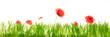 Leinwanddruck Bild - Grüne Wiese und Klatschmohn vor weißem Hintergrund, Panorama mit Textfreiraum