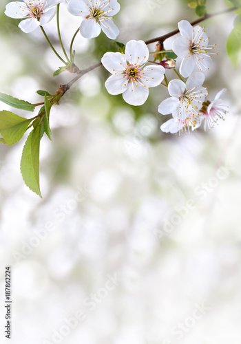 Blooming cherry tree, flowers with leaves on twig on a spring day with space for text