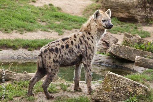 In de dag Hyena Spotted hyena (Crocuta crocuta)
