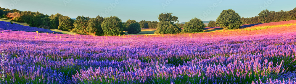 Lavender field in the morning