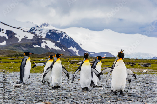 Group of king penguins coming together , mountain background, South Georgia, Wildlife scene from nature. Animal from Antarctica,