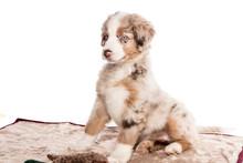 Mini Australian Shepherd Welpe Sitzt Auf Der Hundedecke Und Guckt Eingebildet Stolz