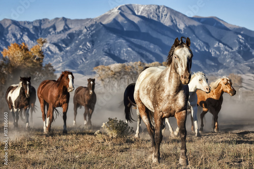 Foto op Canvas Paarden A Leader of Running Horses with Mountain Backdrop