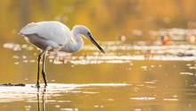 Egret And Golden Hour